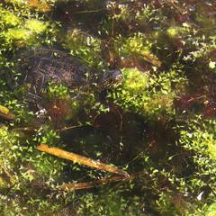 Черепаховая вода