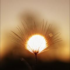 Солнце и Одуванчик