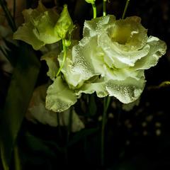 Чарівна квітка еустоми