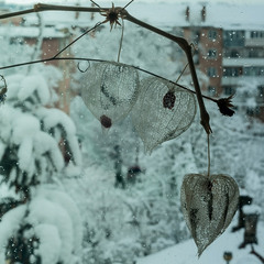 Сніжний фізаліс