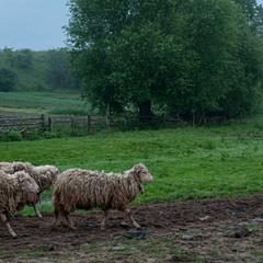 Вівці мої, вівці!..