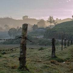 Early Morning. Munnar. Tea Plantation.