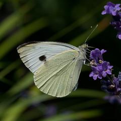 Бабочка капусница