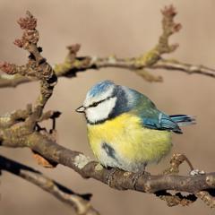 Синиця блакітна  (лазоревка)
