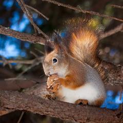Белка песенки поёт и орешки все грызет...