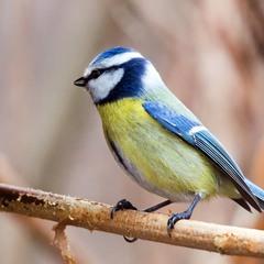 Синиця  блакітна  (обыкновенная  лазоревка)