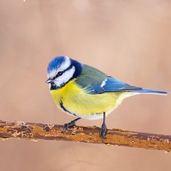 Блакитна синиця