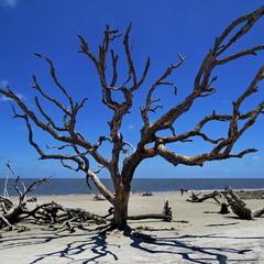 Засохшие деревья на пляже Driftwood Beach, остров Jekyll Island, США