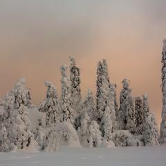 Снегом залепленные ели