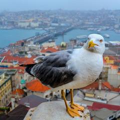 Чайка с видом на Босфор
