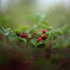 В лес по ягоды пойдем, земляники наберем.