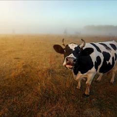 Вышел утром я из дома, на пути стоит корова.