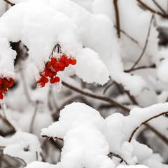 Червоне намисто білої зими...