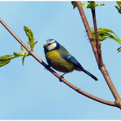 Птица-синица.
