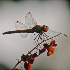 Fly, Dragonfly!