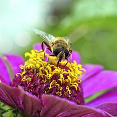 Пчеловидка