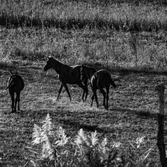 Лошадки на лугу