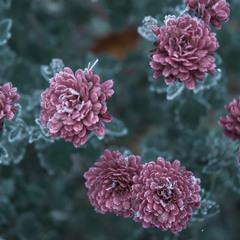 Замерзлі квіти
