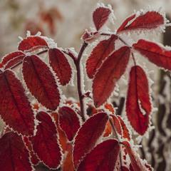 Листя шиповнику в перші заморозки