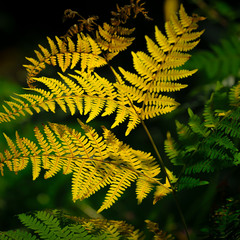 Осенний цвет папороти