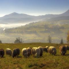 """""""Вівці, мої вівці..."""" (с)"""