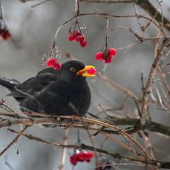 Чорний птах з червоною ягідкою