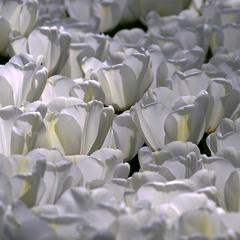 Тюльпановый фарфор