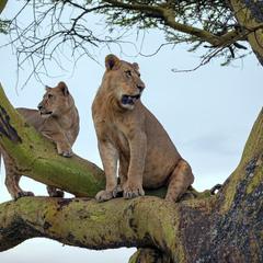 Отаке! Дві цариці на дереві!