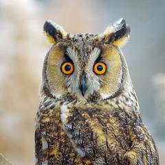 Бурштинові очі, пухнасті вуха :)