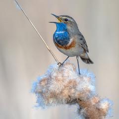 Синьошийка