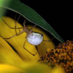 Будні павучихи