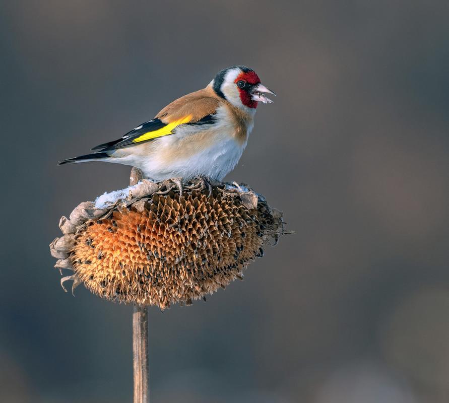 даже слышал, щиглик птица фото зимой упоминания