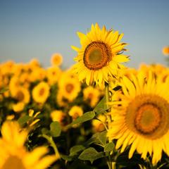 У извилистой дорожки Растёт солнышко на ножке. Как дозреет солнышко, Будет горстка зёрнышек.