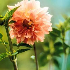 цветок августа