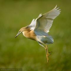 I can fly! Желтая цапля.