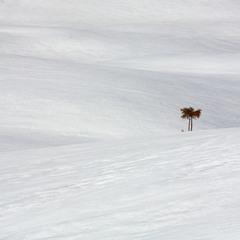 Снігова пальма