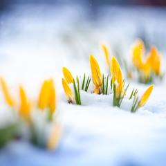 весна...удивлённый шафран