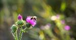 Бджола та квітка