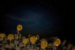Сонячники та зоряне небо