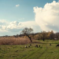 Baran jeval travue, або Вівці мої вівці