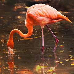 Розовый фламинго)