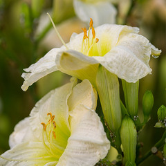 Эти белые цветы...