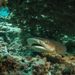 Маленький напуганный спрятавшийся Акулёнок