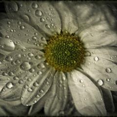 ...Безответной страсти жертвенный цветок