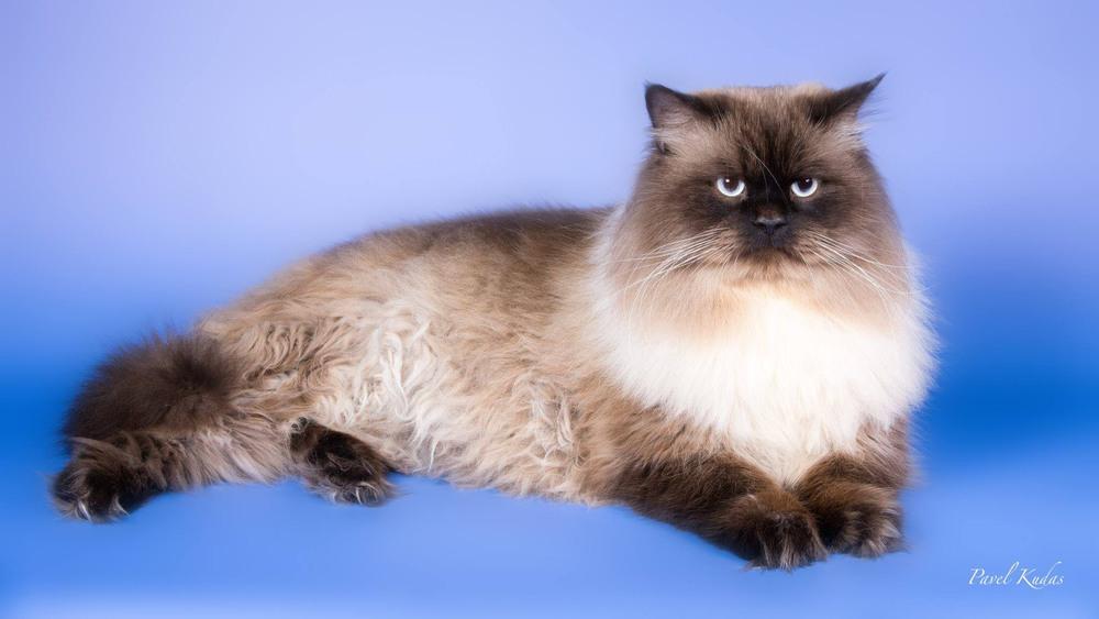 школьный картинки невских маскарадных кошек этой статье