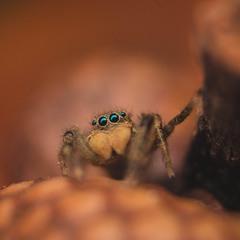 Павук- скакун