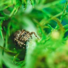 Павук - скакун