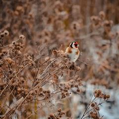 Зимовий щиглик