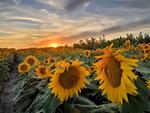 Вечір на соняшниковій плантації...