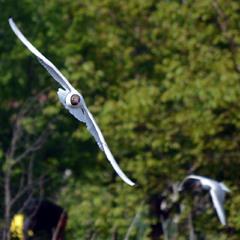 Днепровские чайки